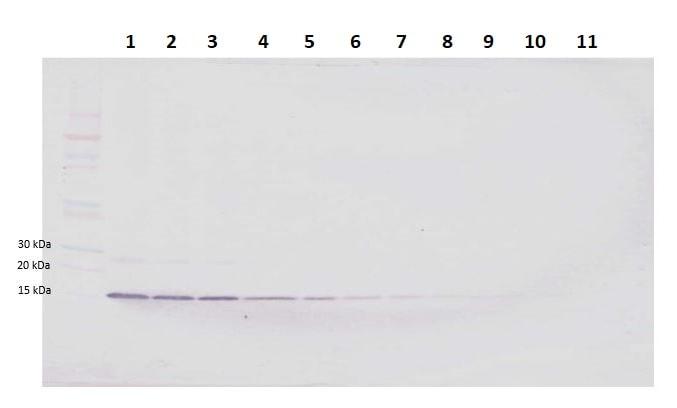 Western blot - Biotin Anti-Amphiregulin antibody (ab246313)