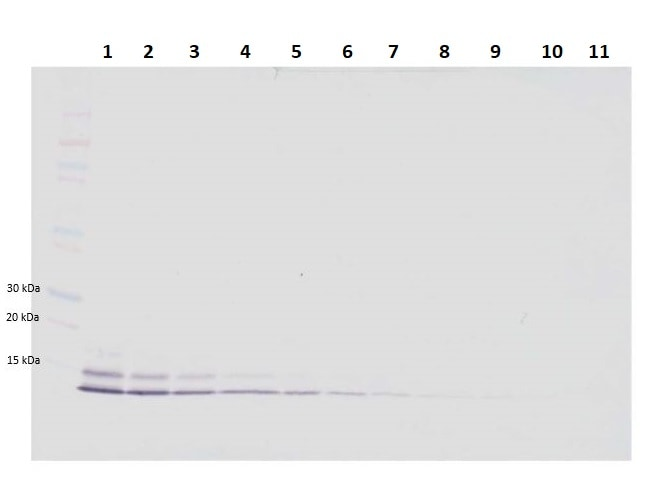 Western blot - Biotin Anti-beta 5 Defensin antibody (ab246314)