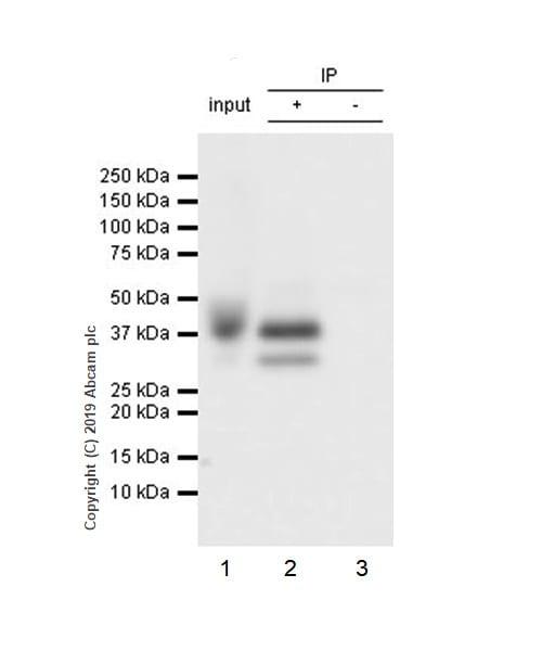Immunoprecipitation - Anti-LINE-1 ORF1p antibody [EPR22227-6] - BSA and Azide free (ab246317)
