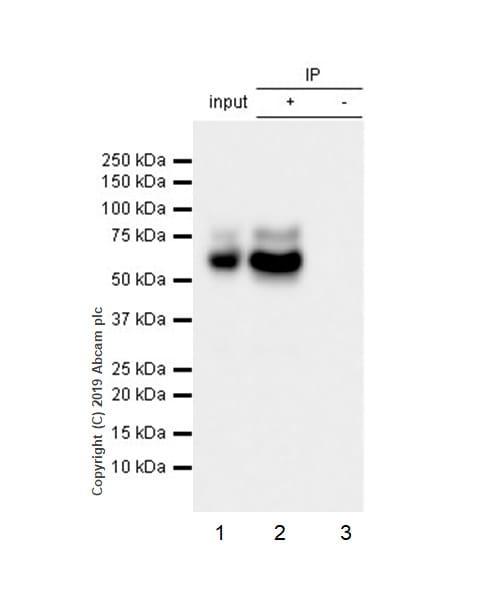 Immunoprecipitation - Anti-PCSK9 antibody [EPR17827-117] - BSA and Azide free (ab246322)