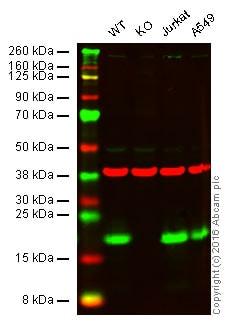 Western blot - Anti-MTH1 antibody [EPR15934-50] - BSA and Azide free (ab246327)
