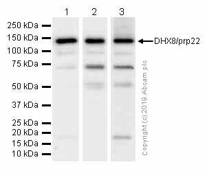 Western blot - Anti-DHX8/prp22 antibody [EPR9146(2)] - BSA and Azide free (ab246344)