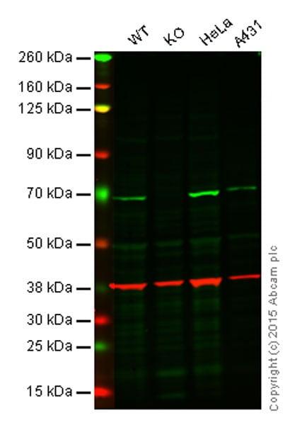 Western blot - Anti-NF-kB p65 antibody [EP2161Y] - BSA and Azide free (ab246347)