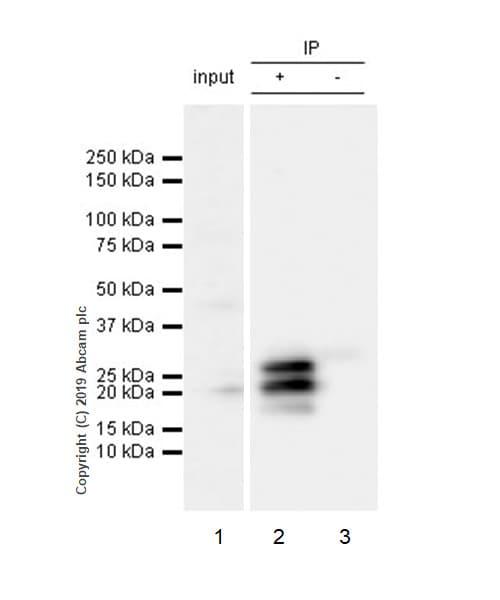 Immunoprecipitation - Anti-FGF2 antibody [EP1735] - BSA and Azide free (ab246354)