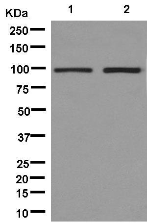 Western blot - Anti-VPS41 antibody [EPR13268] - BSA and Azide free (ab246360)