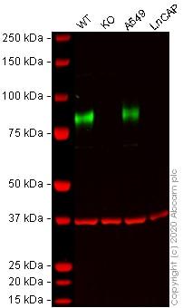Western blot - Anti-CD44 antibody [EPR1013Y] - Low endotoxin, Azide free (ab246690)