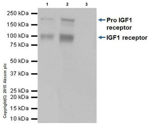 Immunoprecipitation - Anti-IGF1 Receptor antibody [EPR19322] - Low endotoxin, Azide free (ab246702)