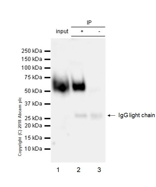 Immunoprecipitation - Anti-SLAMF6 antibody [EPR22170] - Low endotoxin, Azide free (ab246707)