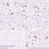 Immunohistochemistry (Formalin/PFA-fixed paraffin-embedded sections) - Anti-galectin 9/Gal-9 antibody [EPR22214] - Low endotoxin, Azide free (ab246797)