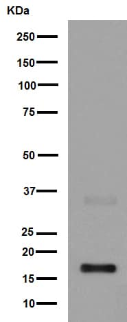 Western blot - Anti-IL-7 antibody [EPR6265] - BSA and Azide free (ab246805)