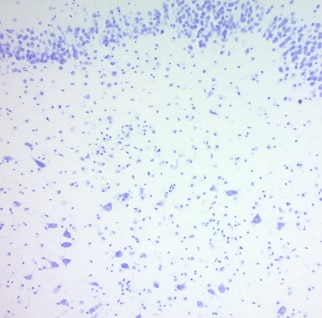 Immunohistochemistry (Formalin/PFA-fixed paraffin-embedded sections) - Cresyl Violet Stain Solution (0.1%) (ab246816)