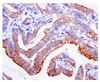 Immunohistochemistry (Formalin/PFA-fixed paraffin-embedded sections) - Anti-Moesin (phospho T558) antibody [EPR2371(2)] - BSA and Azide free (ab246834)