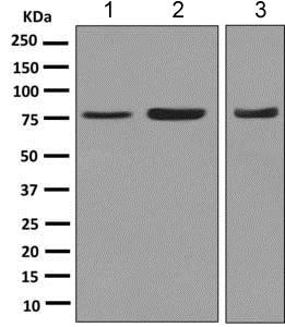 Western blot - Anti-Moesin antibody [EPR2428(2)] - BSA and Azide free (ab246835)
