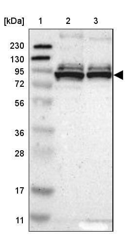 Western blot - Anti-PRKRIR antibody (ab246889)