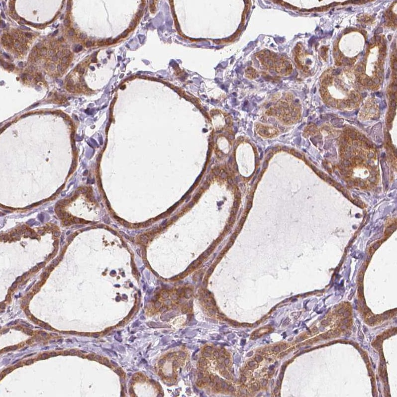 Immunohistochemistry (Formalin/PFA-fixed paraffin-embedded sections) - Anti-PRAGMIN/SGK223 antibody (ab246903)