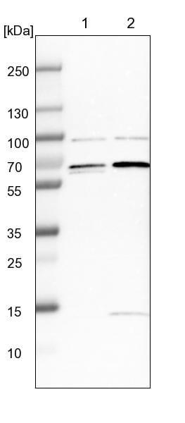 Western blot - Anti-FAM134C antibody (ab246913)