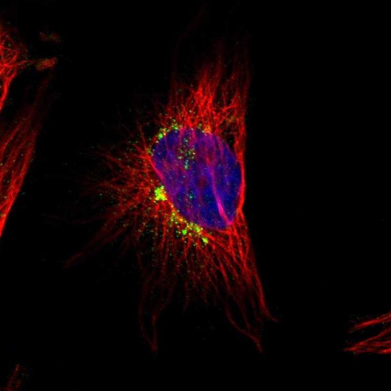 Immunocytochemistry/ Immunofluorescence - Anti-MRI antibody (ab246926)