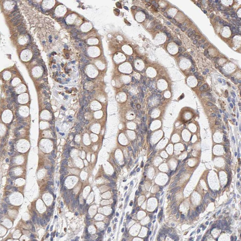 Immunohistochemistry (Formalin/PFA-fixed paraffin-embedded sections) - Anti-SGPL1 antibody (ab246929)