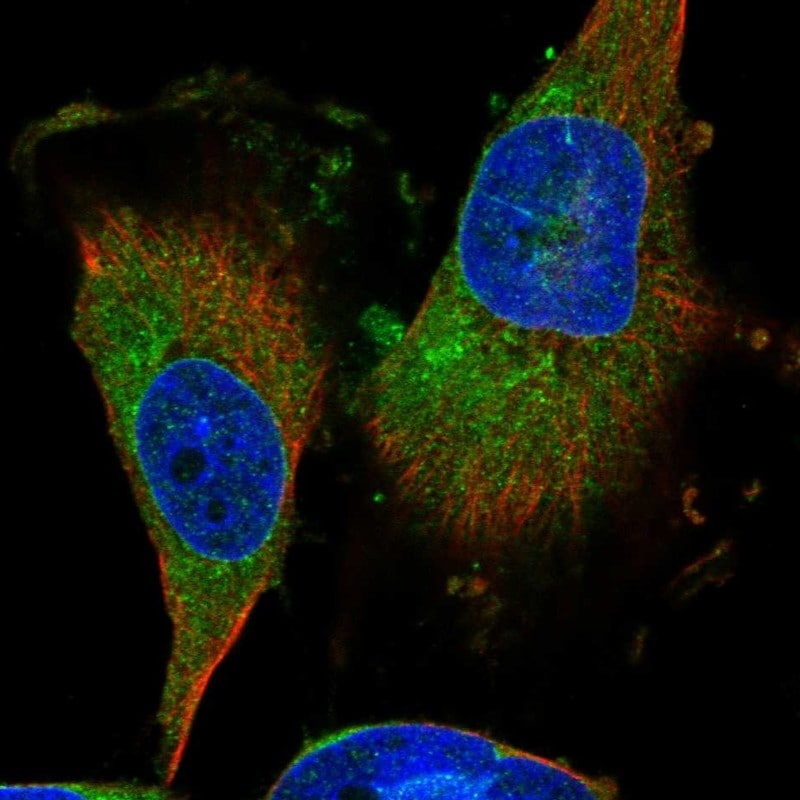 Immunocytochemistry/ Immunofluorescence - Anti-ARHI antibody (ab246963)