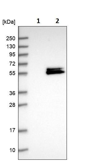 Western blot - Anti-AFG1 antibody (ab246972)