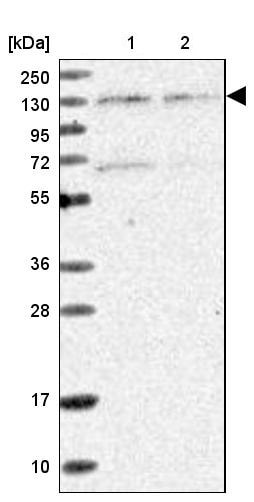 Western blot - Anti-Matrin 3 antibody (ab246997)