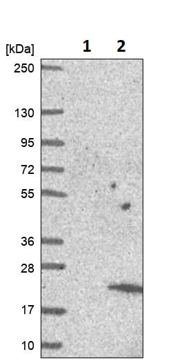 Western blot - Anti-C6orf1 antibody (ab247006)