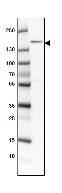Western blot - Anti-POLR3A antibody (ab247007)