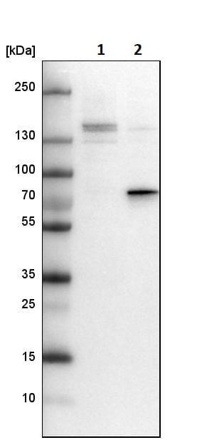 Western blot - Anti-DEF6 antibody (ab247011)