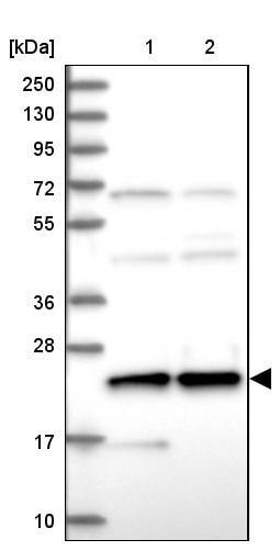 Western blot - Anti-HN1L/L11 antibody (ab247030)