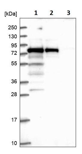 Western blot - Anti-GNL1 antibody (ab247046)
