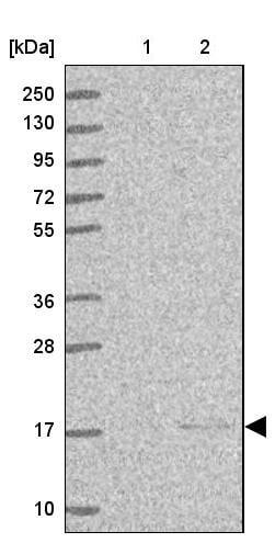 Western blot - Anti-ENSA antibody (ab247103)