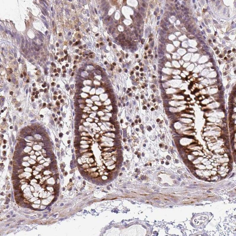 Immunohistochemistry (Formalin/PFA-fixed paraffin-embedded sections) - Anti-GRLF1 antibody (ab247123)