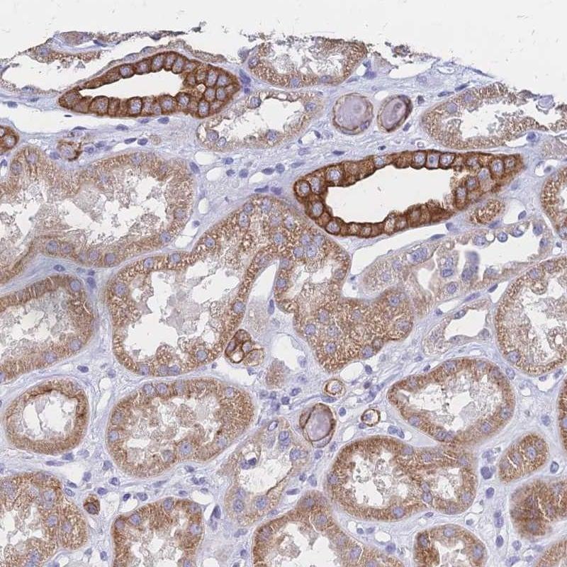 Immunohistochemistry (Formalin/PFA-fixed paraffin-embedded sections) - Anti-DTN-B antibody (ab247144)