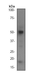 Western blot - Anti-Caspase-2 antibody [Y154] - BSA and Azide free (ab247211)