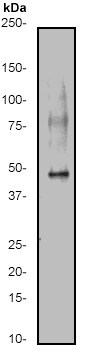 Western blot - Anti-Caspase-9 antibody [E84] - BSA and Azide free (ab247220)