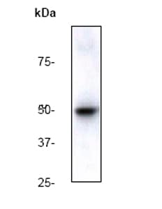 Western blot - Anti-beta Arrestin 1 (phospho S412) antibody [E109] - BSA and Azide free (ab247229)