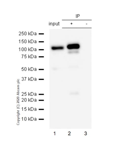 Immunoprecipitation - Anti-STAT6 antibody [E265] - BSA and Azide free (ab247230)