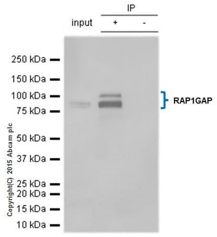 Immunoprecipitation - Anti-RAP1GAP antibody [Y134] - BSA and Azide free (ab247250)