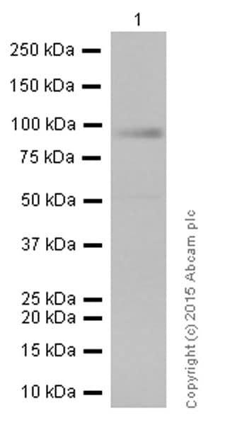 Western blot - Anti-RAP1GAP antibody [Y134] - BSA and Azide free (ab247250)