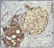 Immunohistochemistry (Formalin/PFA-fixed paraffin-embedded sections) - Anti-RAP1GAP antibody [Y134] - BSA and Azide free (ab247250)