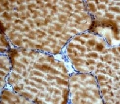 Immunohistochemistry (Formalin/PFA-fixed paraffin-embedded sections) - Anti-AMPK gamma 1 antibody [Y307] - BSA and Azide free (ab247251)