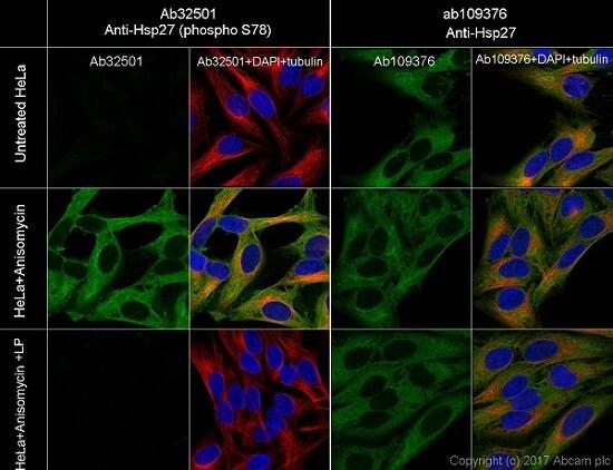Immunocytochemistry - Anti-Hsp27 (phospho S78) antibody [Y175] - BSA and Azide free (ab247262)
