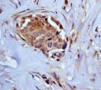 Immunohistochemistry (Formalin/PFA-fixed paraffin-embedded sections) - Anti-ARF1+ARF3 antibody [EP442Y] - BSA and Azide free (ab247266)