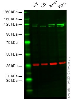 Western blot - Anti-PI3 Kinase p110 beta antibody [Y384] - BSA and Azide free (ab247274)