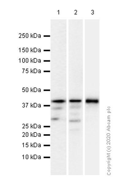 Western blot - Anti-c-Jun antibody [EP693Y] - BSA and Azide free (ab247284)
