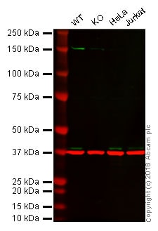 Western blot - Anti-MEK3 antibody [EP555Y] - BSA and Azide free (ab247295)