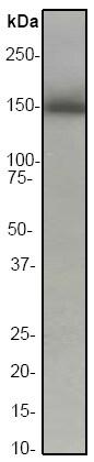 Western blot - Anti-Hamartin antibody [EP318Y] - BSA and Azide free (ab247297)