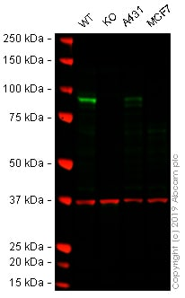 Western blot - Anti-MAPK6/ERK-3 antibody [EP1720Y] - BSA and Azide free (ab247348)