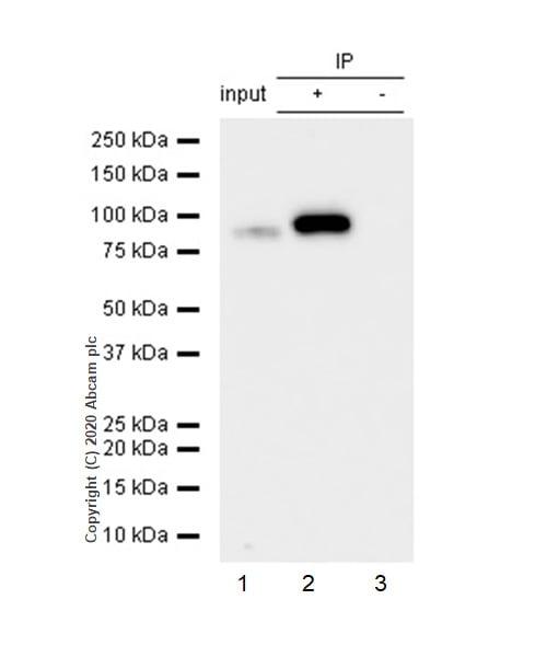 Immunoprecipitation - Anti-STAT4 antibody [EP1900Y] - BSA and Azide free (ab247366)