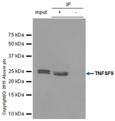 Immunoprecipitation - Anti-4-1BBL antibody [EPR1172Y] - BSA and Azide free (ab247373)